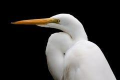 egret śnieżny wielki Obrazy Stock