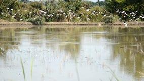 Egret, żerdź ptaki, pelikany i wodni ptaki, karmimy na ziemi przy pługiem zbiory