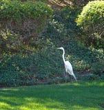 Egret żuraw Fotografia Stock