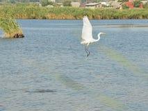egret большой с принимать Стоковые Фото