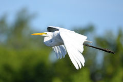 egret большой Стоковое фото RF