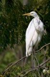 egret большой Стоковые Фотографии RF