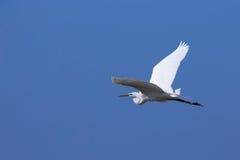 egret большой стоковые фото