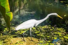 Egret - ботанический сад Рио-де-Жанейро, Бразилия Стоковое Изображение RF