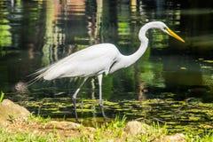 Egret - ботанический сад Рио-де-Жанейро, Бразилия Стоковая Фотография