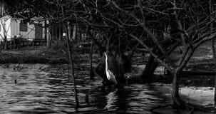 egret большой Стоковая Фотография RF