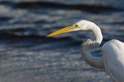 egret большой Стоковые Изображения RF