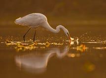 egret большой Стоковое Фото