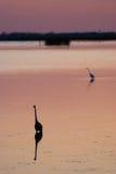 Egret в звуке на заходе солнца около Currituck, наружные банки, Северная Каролина Стоковая Фотография