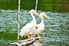 Egret в озере стоковая фотография rf