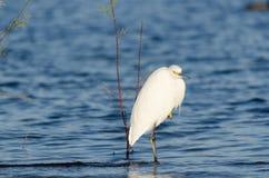Egret в озере Стоковые Фото