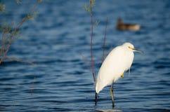 Egret в озере Стоковое фото RF