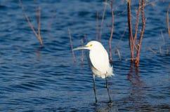 Egret в озере Стоковое Изображение