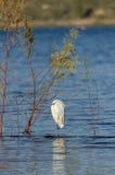 Egret в озере Стоковые Фотографии RF
