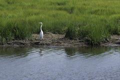 Egret вдоль банков соленых болот Стоковые Изображения
