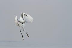 Egret в полете над водой Стоковые Фотографии RF