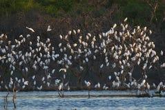 Egret в полете, Стоковые Фото
