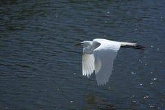 Egret в полете, Kissimmee, Флорида Стоковое Изображение RF