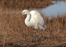 Egret в разводить сезон стоковое изображение rf