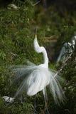 Egret в сопрягать ритуальный дисплей, с оперением размножения Стоковые Фотографии RF