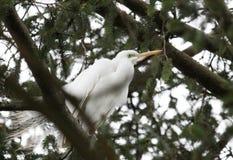 Egret в сосне Стоковое Изображение