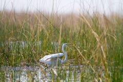 Egret в тростниках стоковое изображение rf