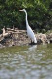 Egret в rive, Огайо Snowy молодой стоковая фотография