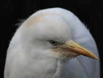 egret головной немногая стоковое изображение rf