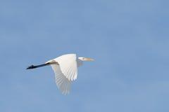 Egret летания белый в голубом небе стоковая фотография rf