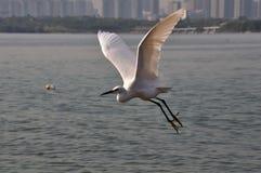 Egret летания маленький Стоковое Фото
