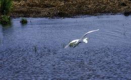 Egret летания Стоковое Изображение