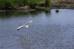 Egret летания Стоковая Фотография