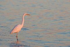 Egret захода солнца большой Стоковые Изображения RF