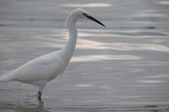 Egret звероловства стоковое изображение rf