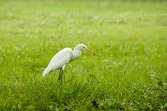 Egret идя на лужайку стоковое фото rf