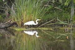 Egret и отражение в заболоченном рукаве реки Стоковые Фотографии RF