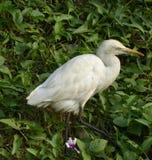 Egret, Керала Стоковое Изображение