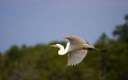 egret летая большой дом Стоковая Фотография
