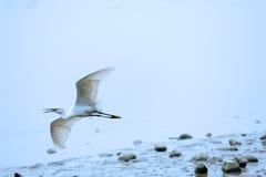 egret летая немногая белое стоковые фото
