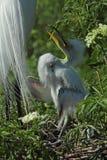 Egret младенца в гнезде, ждать быть поданным, в Флориде Стоковая Фотография RF