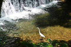 Egret на реке Kibune свежей зелени, Киото, Японии Стоковые Фото