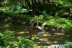 Egret на реке Kibune свежей зелени, Киото, Японии Стоковые Изображения