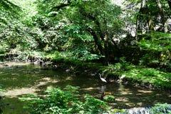 Egret на реке Kibune свежей зелени, Киото, Японии Стоковое Изображение RF
