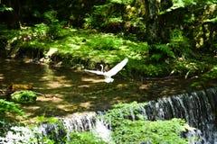 Egret на реке Kibune свежей зелени, Киото, Японии Стоковая Фотография