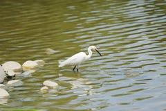 egret немногая белое Стоковое Изображение