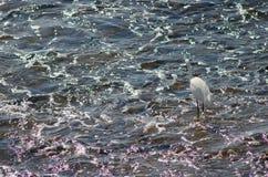 egret немногая стоковое изображение rf