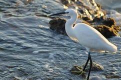 egret немногая стоковое фото rf