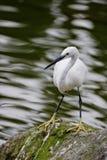 egret немногая Стоковая Фотография