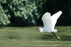 egret немногая стоковые изображения
