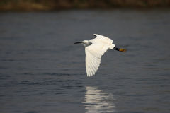 egret немногая Стоковая Фотография RF